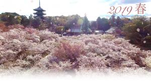 御室桜開花予想2019春